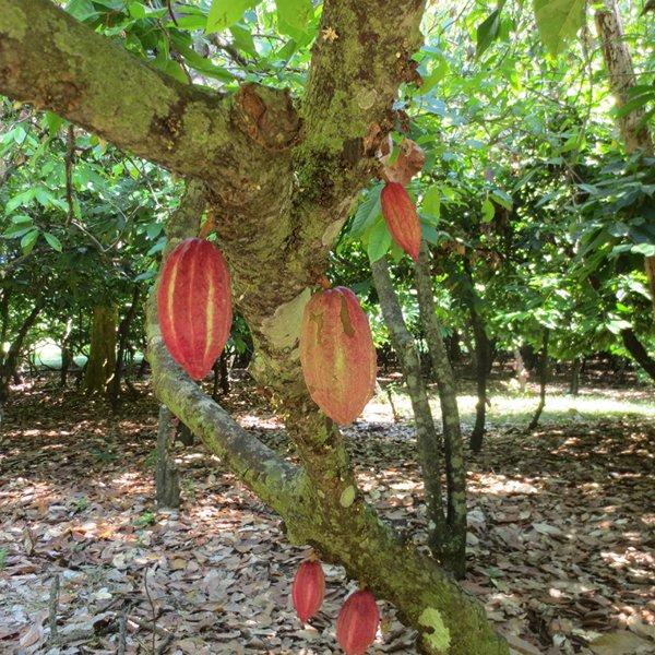 cocoa tree in madagascar